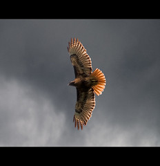 Red Tail Sky (Tim Ennis) Tags: red canada bird nature animal vancouver ilovenature island tim bravo bc hawk wildlife tail raptor ennis soaring predator avian tailed soar buteo naturalmente jamaicensis specanimal superaplus aplusphoto superbmasterpiece timennis