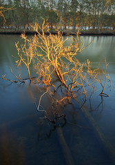 Golden Tree in Water
