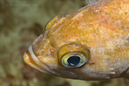 Copper Rockfish at San Miguel Island