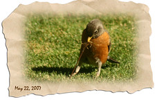 The Robin & The Worm (redhatgal ~ Barbara Butler/FireCreek Photography) Tags: ca robin backyard worm bakersfield kerncounty featheryfriday flickrsbest womenphotographers colorphotoaward superbmasterpiece redhatgal kerncountyphotographers kerncountyphotogaphers