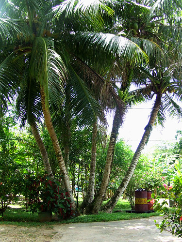 Saipan, A'be's garden - trunkon niyok (coconut tree)