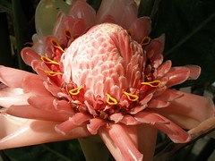 Torch ginger - by tanakawho