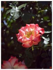 Rose 070520 #26