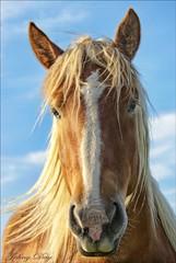 When a Horse is a Prince (Johny Day) Tags: horse caballo cheval bravo quebec ricky galope naturesfinest magicdonkey oneofmybest outstandingshots specanimal abigfave johnyday colorphotoaward impressedbeauty lifebeautiful superbmasterpiecepicture goldenphotographer diamondclassphotographer mohawkrezoka horsephotographer equinephotographer johnyday johnydaystudioyahoocom