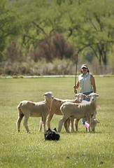 A handler and sheepdog team