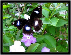 The Great Eggfly (Hypolimnas Bolina) loves the Brunfelsia pauciflora/calycina