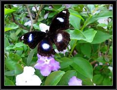 The Great Eggfly (Hypolimnas Bolina) loves the Brunfelsia Calycina