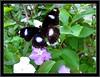 The Great Eggfly (Hypolimnas Bolina)