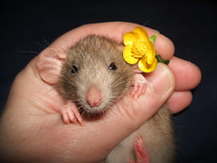 Michaela Robin - My New Little Girl - 4 (birdtoes) Tags: pet pets animal animals rodent rat rats rodents coolest ratty ratties dumboears supershot flickrsbest flickrchallengegroup flickrchallengewinner superhearts ysplix flickrelitegroup theunforgettablepictures michaelarobin upandcomingrattysupermodel