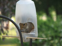 Squirrel in feeder1