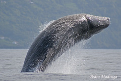 Physeter Macrocephalus (PedroMadruga) Tags: ocean sea wild mammal wildlife free pico whale azores aores breach spermwhale cetaceo cetacean cachalote cetacea openocean animalkingdomelite pedromadruga southofpico suldopico