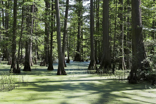 Cypress Trees and Duckweed