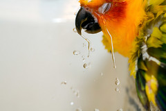 cry me a river (eva8*) Tags: bird water riley bath parrot cry conure 60mm28 eva8 featheryfriday