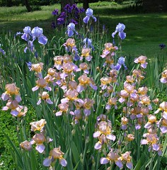 Iris  'Quaker Lady',   Iris 'Blue Rhythm', and Iris sanguinia 'Kamayama' (Tie Guy II) Tags: flowers iris flower garden irises tieguyii