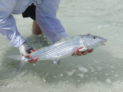 Bonefish - Mayaguana 2007 - Grey Ghost of the flats