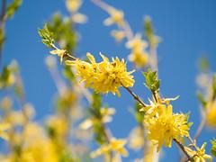 Fleurs jaunes (Djof) Tags: ontario canada flower fleur yellow closeup jaune spring dof bokeh ottawa depthoffield boke printemps parliamenthill profondeurdechamp collineduparlement raproch