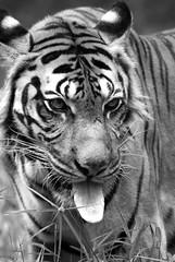 Zoo Negara Malaysia September 2006 - Malayan Tiger(3)