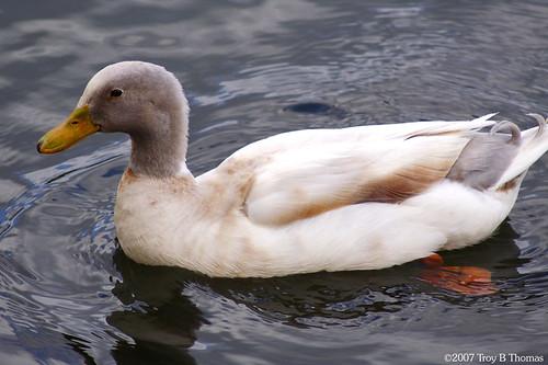Duck01_20070329