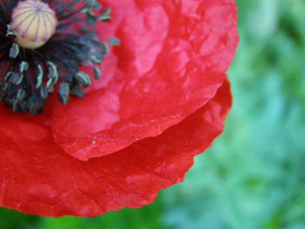 poppy small for blog