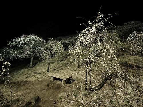 夜の梅 3