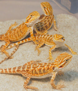 Baby Beardies