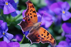 Butterfly in Blue (SouthernView) Tags: flower butterfly insects bugs naturesfinest southernview d80 rayashley
