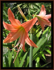 Flowering stalk of an Orange Amaryllis