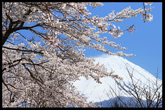 Japanese spring image (* Yumi *) Tags: favorite flower japan spring cherryblossom mtfuji naturesfinest flickrsbest anawesomeshot superaplus aplusphoto superbmasterpiece beyondexcellence