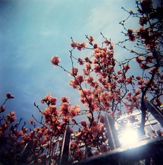 Spring in the City (Barbara L. Hanson) Tags: houston chrystie avalon tree fence pink blue sky magnolias glare holga cfn 120 toycamera plasticcameria new nyc manhattan bowery twigs toy plastic lomo lomography york