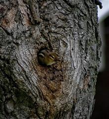 (mightyquinninwky) Tags: tree kentucky chipmunk urbanwildlife lexingtonky frontyard knothole fontaineroad chevychasearea