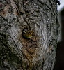 (mightyquinninwky) Tags: tree kentucky chipmunk urbanwildlife lexingtonky frontyard knothole fontaineroad chevychasearea