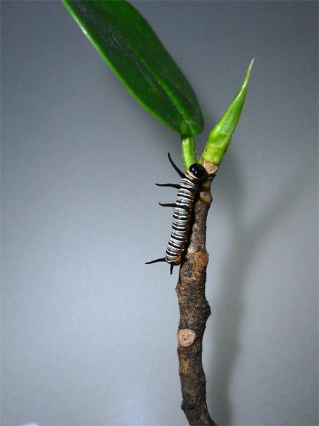 Caterpillar 端紫斑蝶幼蟲