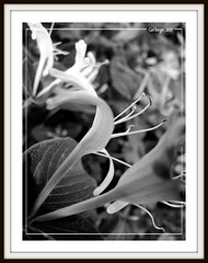 Choose me Miss Bee (CarlBSr) Tags: flowers flower macro blackwhite searchthebest framed explore frame picnik anawesomeshot is1 bwstyller