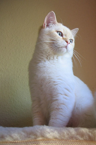 Malfoy, 7 months, british shorthair tomcat