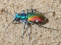 Cicindela scutellaris scutellaris x scutellaris lecontei 2 (tigerbeatlefreak) Tags: sand beetle animalia arthropoda coleoptera insecta cicindela carabidae cicindelinae