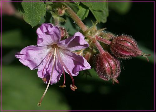 Geranium macrorrhizum -  Balkanstorchschnabel
