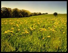 Depth of dandelion field (andrewlee1967) Tags: dandelions field tree derbyshire andrewlee1967 uk supershot england aplusphoto superaplus landscape focusman5 andrewlee canon400d 400d taraxacumofficinale