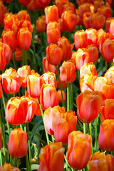Keukenhof 2007 (kruijffjes) Tags: life pink blue red sky flower holland green classic netherlands floral windmill beautiful dutch yellow clouds vintage d50 garden botanical spring still flora nikon scenery colorful pretty day display vibrant background space seasonal blossoms nederland nikond50 fresh full petal stamen tulip stems bloom romantic florist bouquet bud gdk cheerful arrangement springtime tulipa keukenhof tulipe tulpen springy tulp lisse gdk