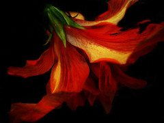 A DREAM (mikem1115) Tags: flowers flower color macro art photoshop amazing jpgmagazine surreal redrule soe jesters macromadness elegance macrophotography worldsbest eyeofthebeholder naturesfinest excellenceinfloralphotography beautywithin flowerphotography flowerotica flickrsbest ilovemacro shieldofexcellence elpasojoe colorphotoaward ultimateshot macromacromacro superbmasterpiece beyondexcellence artofphotography photographycritique colourlicious empyreanflowers farandawaythebest flickrphotoaward photosandcalander nieckscontacts
