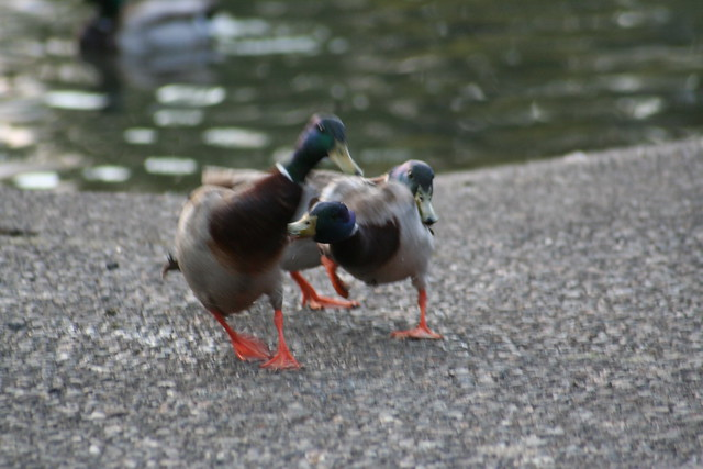 Duck Fights, JAB JAB!!!