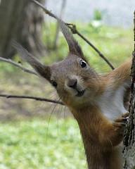 Eek! (Lalallallala) Tags: animal finland helsinki squirrel wildanimal naturesfinest 25faves kaisaniemibotanicalgarden abigfave mdteyes