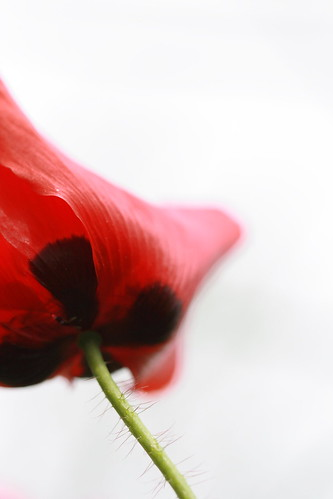 a study in coquelicots 2