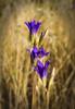 Wild Flower (Tonym1) Tags: flower
