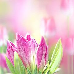 (mactastic) Tags: pink flowers light abstract color green colors wow catchycolors square spring flora colorful soft pretty tulips bright rosa peaceful serenity serene flore mactastic anawesomeshot diamondclassphotographer flickrdiamond