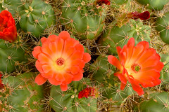 Texas Claret Cup Cactus in Bloom