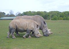 Like mother like daughter (CaptiveInnocencePhotography) Tags: zoo rhinos grazing whipsnade whiterhino babyrhino