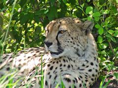 Lying cheetah (Tambako the Jaguar) Tags: wild portrait face cat big feline kenya relaxing kitty fast safari spots bigcat spotty cheetah spotted reclining wildcat lying masaimara felid gepard acinonyxjubatus acinonyx gupard jubatus acynonix