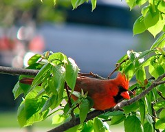 Cardinal in Linden (Rock Steady Images) Tags: red tree bird canon is cardinal wildlife linden feathers powershot 100views perch 200views s3 passerine p1f1 7pointsystem bypaulchambers rocksteadyimages