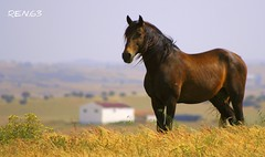 hurry up... please (REN.63) Tags: horse portugal animal paisagem ra alentejo cavalo pffg daroeira explore2007