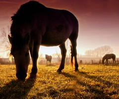Wild Konik Horses (!.Keesssss.!) Tags: horse netherlands grass animals silhouette horizontal outdoors photography dusk arnhem fulllength nopeople livestock domesticanimals grazing gettyimages royaltyfree threeanimals ruralscene herbivorous animalthemes theflickrcollection keessmans 0004ksgetty